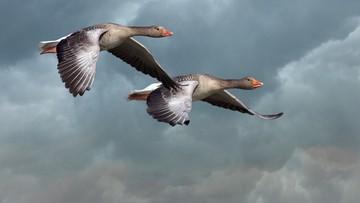 29-04-2017 08:36 Zawód stracha na gęsi. Ptaki niemile widziane w kanadyjskich miastach