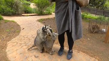 01-05-2017 18:37 Szopy głodomory wspinają się turystom po nogach w chińskim zoo. Rozczulające wideo