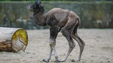 01-06-2016 09:39 Wielbłąd, kangur, lemury i kudu - baby boom w łódzkim zoo