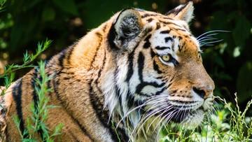 30-05-2016 19:06 Mnisi nielegalnie handlowali tygrysami. Zwierzęta trzymali w świątyni