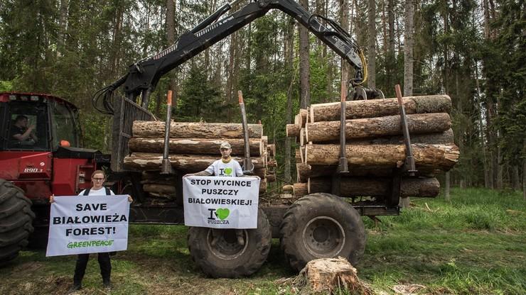 Ekolodzy przypięli się do drzew w Puszczy Białowieskiej. Ministerstwo: to atak wymierzony w rząd