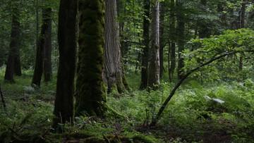11-01-2017 22:01 Ekolodzy krytykują plan resortu środowiska ws. zarządzania Puszczą Białowieską