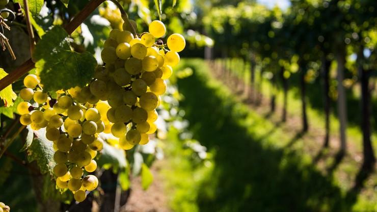 Nawet 12 ton winogron z hektara; pomogło gorące lato