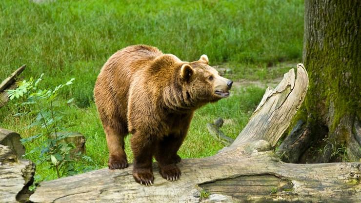 Bieszczady: obudziły się niedźwiedzie. Mogą być groźne