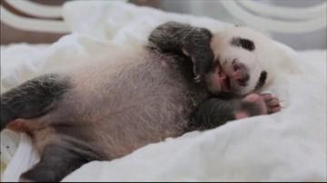 09-08-2016 23:12 Miesięczna panda przechodzi badania. Ten film trzeba zobaczyć