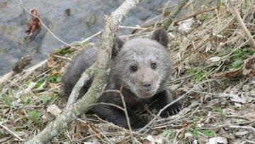"""02-04-2016 16:55 """"Leżał na trawie i trząsł się z zimna"""". Bieszczadzcy leśnicy uratowali niedźwiadka"""