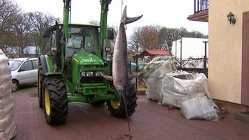 Gigantyczny miecznik złapany przez rybaków ze Świnoujścia