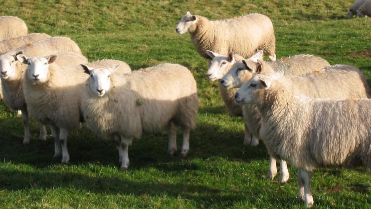 Klony - siostry owieczki Dolly - wcale nie starzeją się szybciej