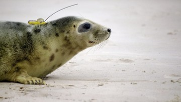 25-05-2016 16:42 Foki ze Stacji Morskiej na Helu uwolnione