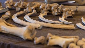 14-09-2016 17:24 Wrocław: zaprezentowano szkielet nosorożca sprzed ponad 100 tys. lat