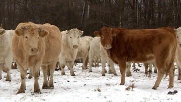 16-01-2017 18:34 Nocą kradną krowy. Są warte tyle, co nowy samochód