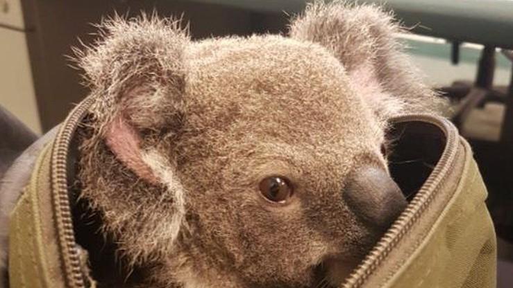 Nietypowa zawartość plecaka - zatrzymano kobietę przewożącą młodego koalę