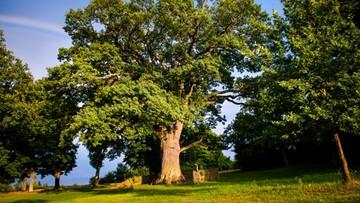 01-02-2016 07:49 Dąb Bolko może zostać drzewem roku w Europie. Oddaj na niego głos