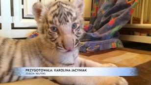 Historia niezwykłej adopcji - pies przygarnął porzucone tygrysiątka