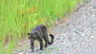 Malezja - rzadka pantera mglista w oku kamery