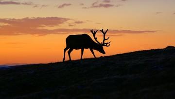 16-09-2016 11:06 Jelenie na rykowisku - parki narodowe zapraszają na obserwacje