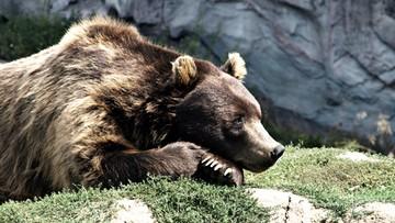15-03-2016 10:59 Niemiecka policja przejęła ostatniego w kraju niedźwiedzia cyrkowego