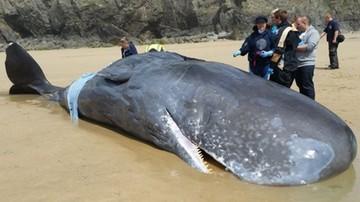 Wieloryb na plaży w Kornwalii