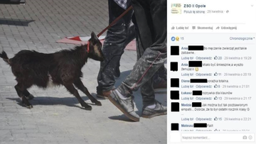 06-05-2016 20:00 Uczniowie przyprowadzili kozę na apel. Towarzystwo Opieki nad Zwierzętami: powiadomimy prokuraturę