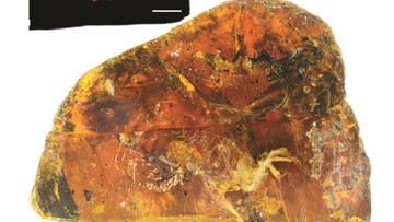 09-06-2017 16:49 Szczątki pisklęcia przetrwały w bursztynie 99 milionów lat. Udało się odtworzyć wygląd wymarłego gatunku