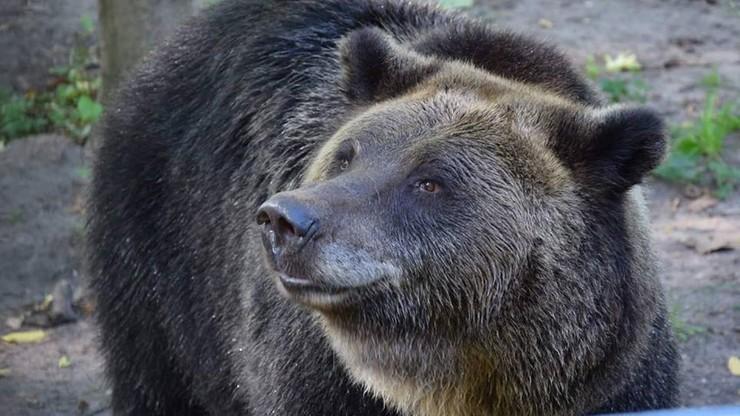 Niedźwiedzica wykopała pocisk moździerzowy. Akcja saperów w zoo w Poznaniu