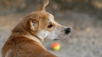 04-03-2017 12:50 Bezpańskie psy będą podawać piłki na turnieju tenisowym w Sao Paulo