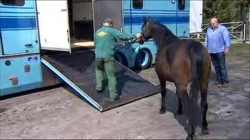 Transport koni Shirley Watts z Janowa Podlaskiego