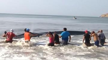 08-05-2017 15:58 Plażowicze uratowali wieloryba. Wepchnęli do wody zwierzę ważące 40 ton