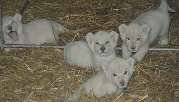 24-05-2016 17:46 Cztery białe lwiątka urodziły się w Świerkocinie. Ogłoszono konkurs na nadanie im imion