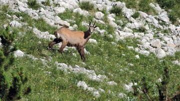 10-07-2016 17:13 Kozic w Tatrach nieco przybyło. Skończyło się ich doroczne liczenie