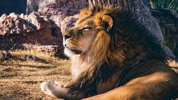 18-03-2016 12:44 Lew uciekł z parku narodowego w Kenii. Ranił mężczyznę na autostradzie