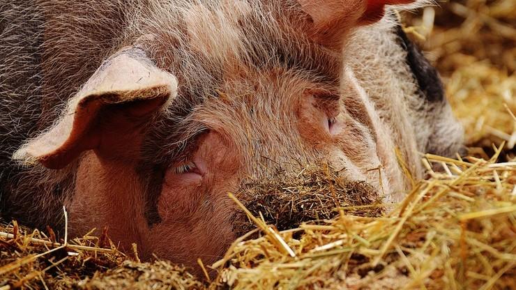Projekt drugiej specustawy dot. afrykańskiego pomoru świń trafi do komisji