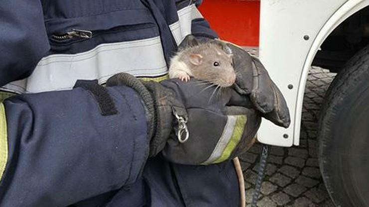 Nietypowa akcja w Strzegomiu. Strażacy uratowali... szczura