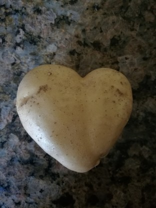2017-09-04 Serdeczny ziemniak. Warzywo o nietypowym kształcie wykopano w Świętokrzyskiem