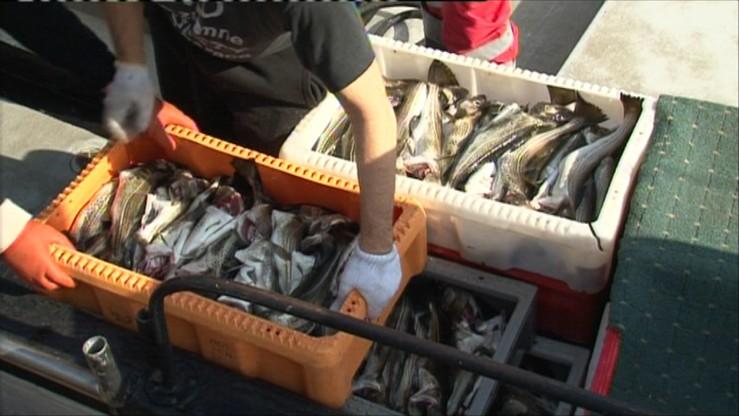 Ograniczenia połowów dorsza na Morzu Bałtyckim. UE zredukuje kwoty połowowe