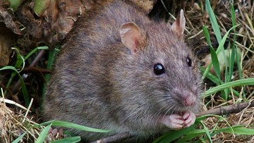 26-07-2016 12:22 Nowa Zelandia ma plan. Kraj chce się pozbyć szczurów do 2050 roku