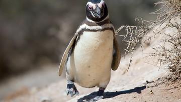 10-03-2016 18:08 Pingwin pokonuje co roku 8000 km, by spotkać się z Brazylijczykiem, który uratował mu życie