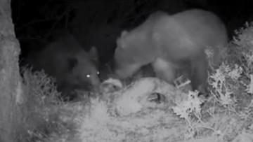 24-06-2016 16:21 Babiogórski niedźwiedź Puszek przedstawił światu swoją przyjaciółkę