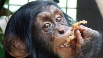 04-01-2017 09:56 Trzecie urodziny szympansa Tytusa. Feta w warszawskim zoo