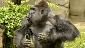 29-05-2016 07:26 Zabili goryla, by ratować 4-latka