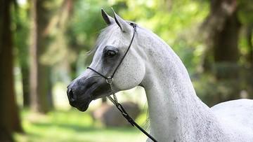 02-06-2016 16:47 Na aukcjach Dni Konia Arabskiego wystawionych 56 koni