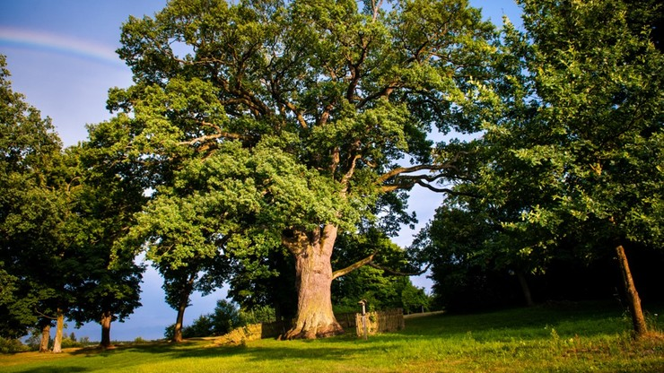 Dąb Bolko może zostać drzewem roku w Europie. Oddaj na niego głos