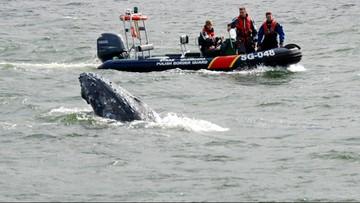 Wieloryb zaplątał się w sieć rybacką w Zatoce Gdańskiej. Zobacz akcję jego uwalniania