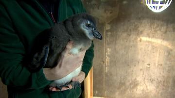 23-02-2016 20:30 Pingwin Janush - pierwszy taki we wrocławskim zoo
