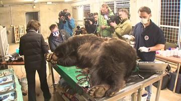 Niedźwiedzi przegląd uzębienia