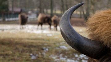Greenpeace broni żubrów: nie można dla pieniędzy zabijać zwierząt chronionych