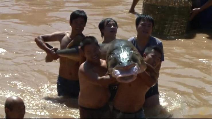 Jesiotry-giganty i 10 tys. kilogramów karpi. Chiński festiwal łowienia ryb