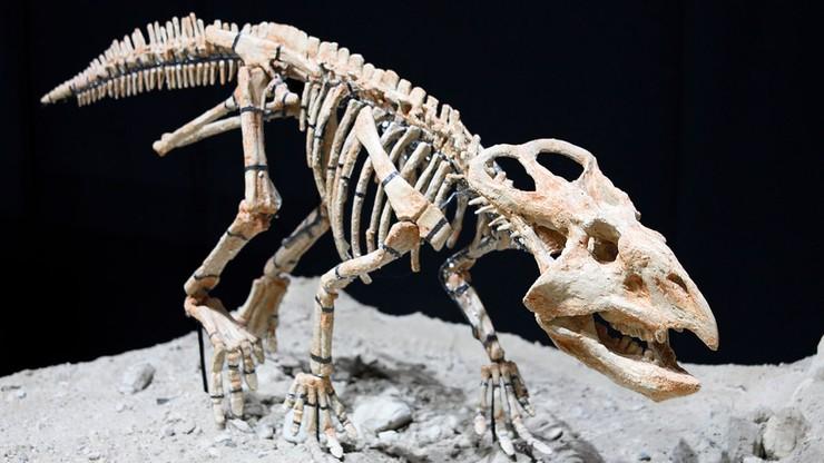 Szkielety baktrozaura i jaja protoceratopsa wracają do Mongolii