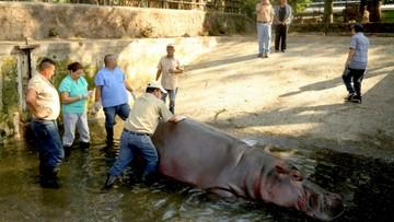 28-02-2017 16:39 Hipopotam Gustavito pobity na śmierć. Był ulubieńcem mieszkańców Salwadoru