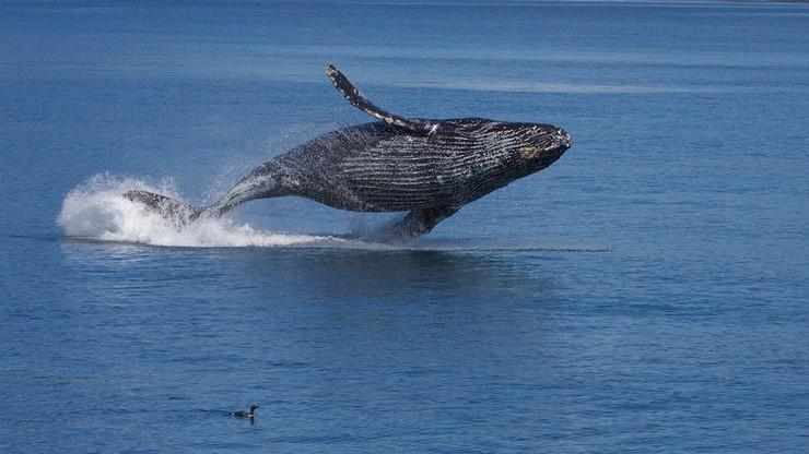 Japonia: pasażerski prom uszkodzony po zderzeniu z wielorybem